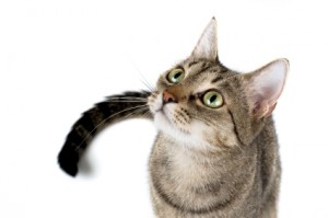 iStock 000002829697XSmall 300x199 What is Environmental Enrichment and Why Does Your Cat Need it?