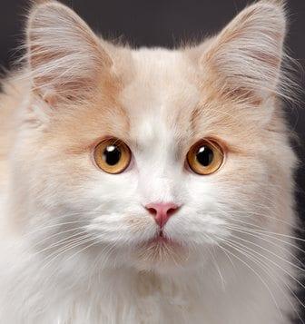 beige cat