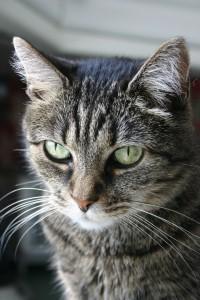 alzheimer's in cats