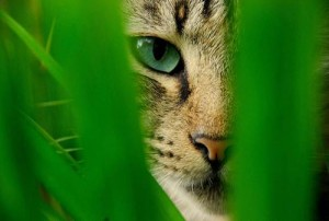 cat stalking in grass 300x202 Why Cats Spray