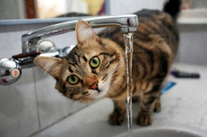 iStock 000003922258XSmall1 300x199 Make Sure Your Cat is Drinking Enough Water