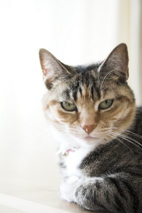 hyperesthesia in cats