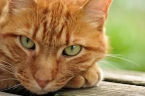 pneumonia in cats symptoms