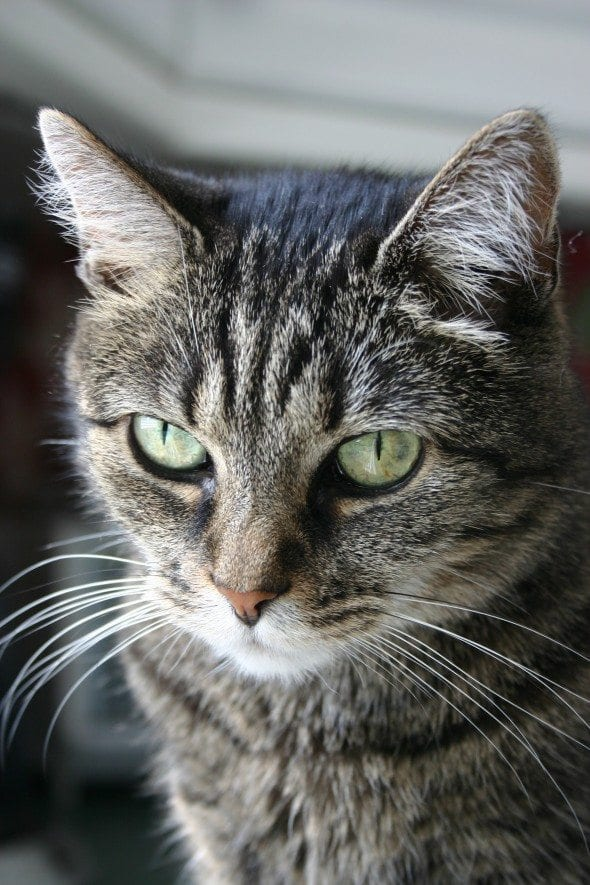 can cats get heartworm