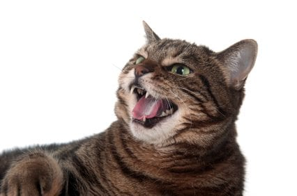hissing tabby Types of Aggression in Cats