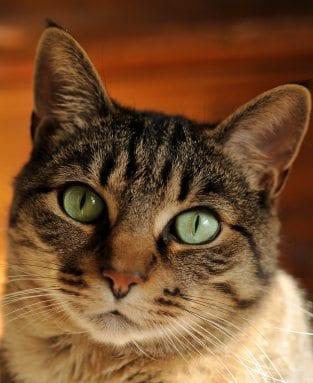 do cats get heartworm