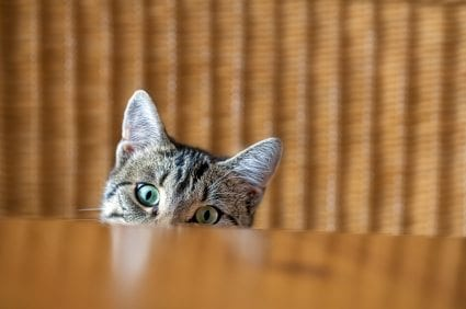 kitten peeking Are You Misunderstanding Your Cats Behavior?