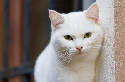 white cat Separation Anxiety in Cats