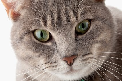 gray cat1 Hyperthyroidism in Cats