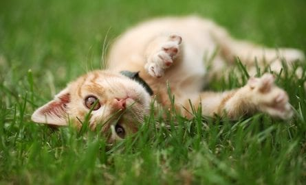 kitten rolling in grass