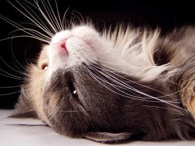 Fotolia 106644 XS How Cats Show Affection