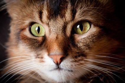 Somali cat close up