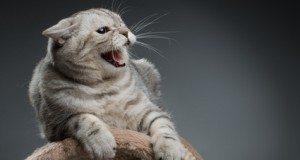 hissing cat