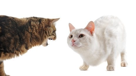 conflict between cats