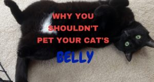 why you shouldn't pet your cat's belly
