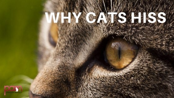Cat Behavior Why Cats Hiss