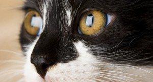 black and white cat closeup