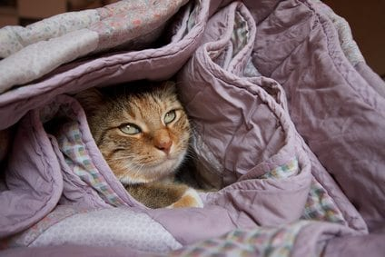 cat in the bed covers
