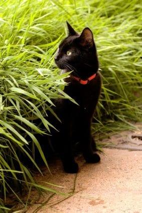 black cat hiding partially in long grass.