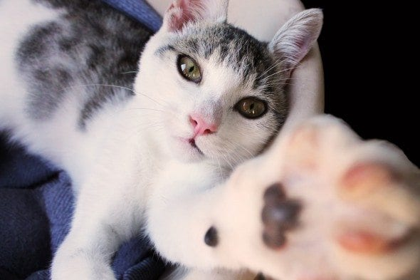 cat reaching with paw