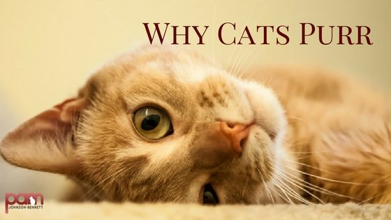 What Does It Mean When A Cat Purrs Really Loud