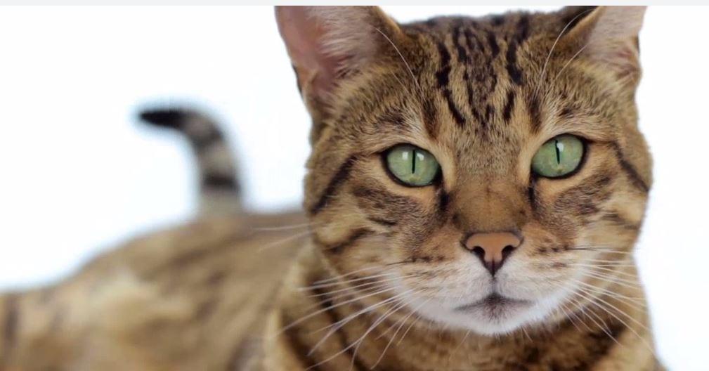 absorbent clay cat litter