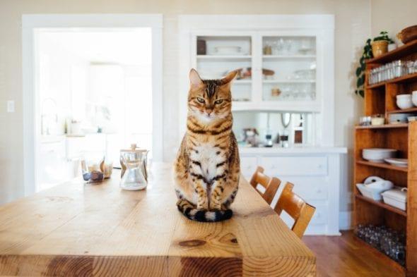 cat sitting on kitchen table