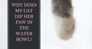 why does my cat dip her paw in the water bowl